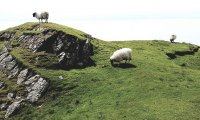 Irish sheperds lead their flock