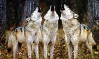 Wolves howling in forest rain