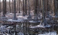 Ominous Snow Covered Swamp