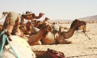 Camel races in the desert